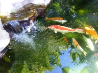 Happy Koi Pond